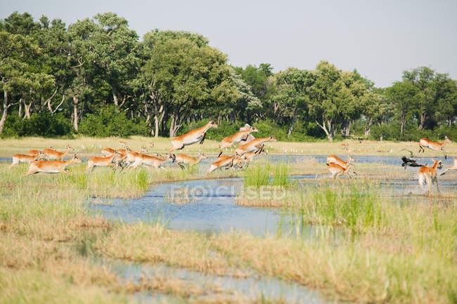 Antilopes Lechwe rouge effacer une partie de l'eau dans le Delta de l'Okavango — Photo de stock