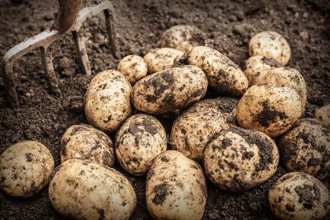 Крупный план картофеля в саду — стоковое фото