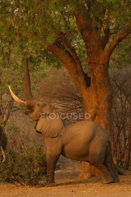Bull elephant or Loxodonta africana reaching to eat tree leaves, Mana Pools National Park, Zimbabwe — Stock Photo