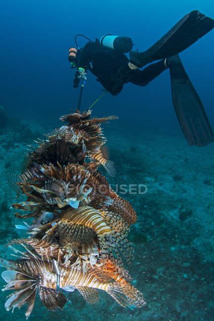 Buceador recogiendo leones invasores del arrecife local - foto de stock