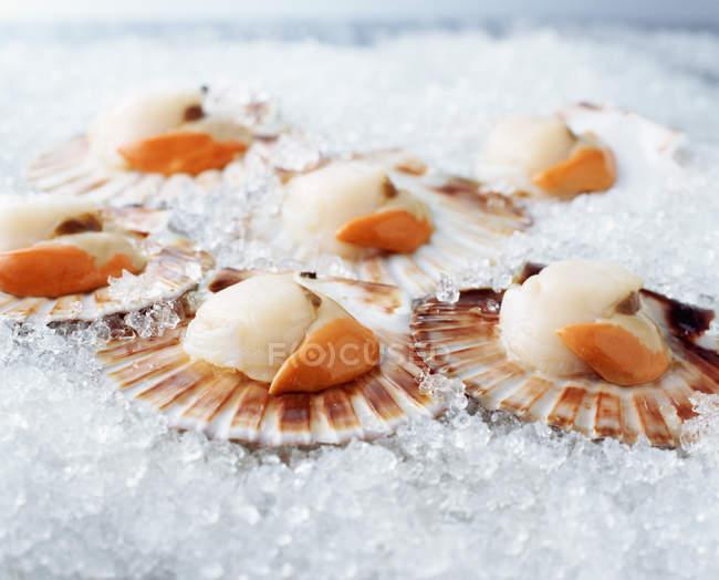 Vanneaux brutes en coquillages sur glace pilée — Photo de stock