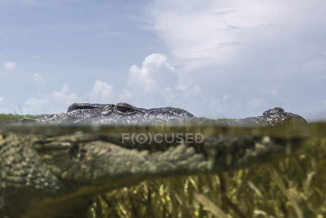 Nahaufnahme Porträt eines amerikanischen Krokodils in den Untiefen des Chinchorro-Atolls, Mexiko — Stockfoto
