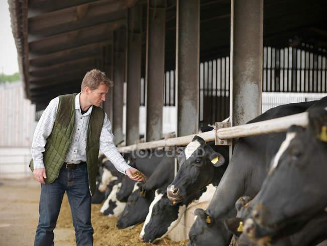 Agricoltore che offre mangimi alle vacche in stalla — Foto stock
