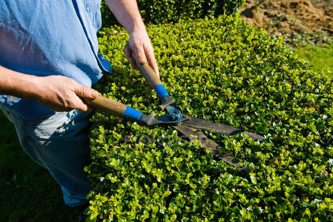 Cropped shot of man trimming hedge with garden shears — Stock Photo