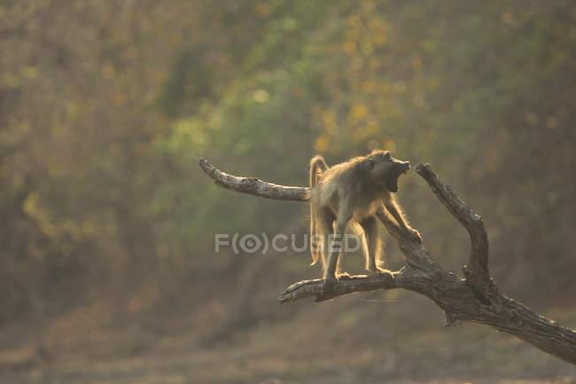 Бабуїн на гілці дерева в Національний парк Ману басейнів, Зімбабве — стокове фото