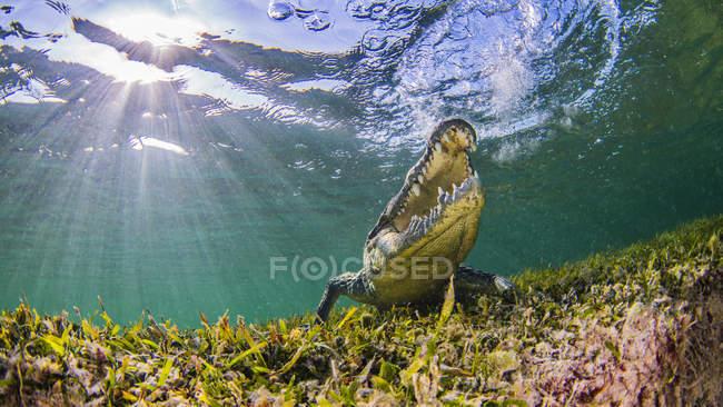 Visão subaquática do crocodilo de água salgada com Abra a boca — Fotografia de Stock