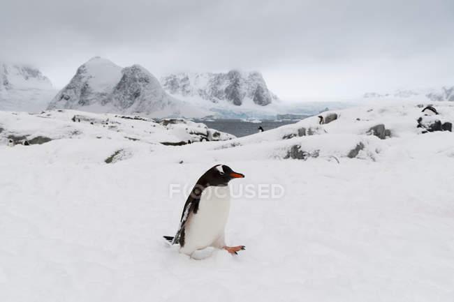 Gentoo penguin in snow, Petermann Island, Antarctica — Stock Photo