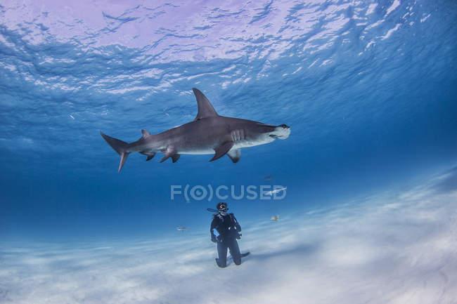 Plongeur observant le requin de Great Hammerhead, vue sous-marine — Photo de stock