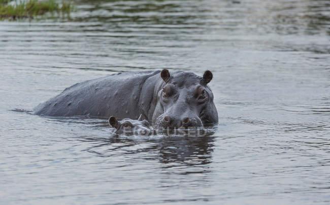 Hippo with baby or Hippopotamus amphibius swimming in water — Stock Photo