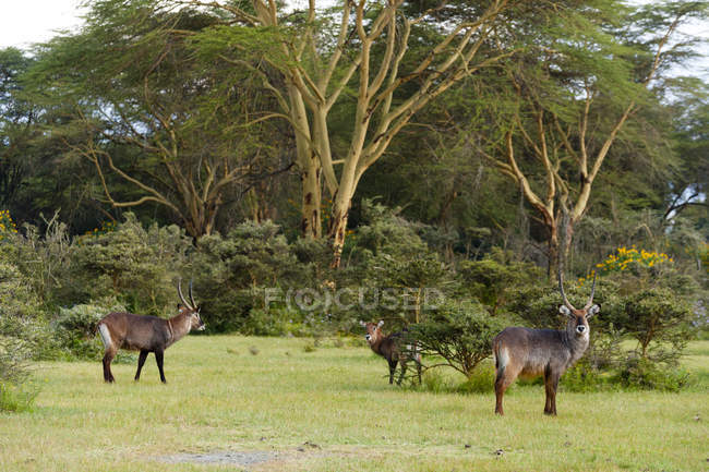 Waterbucks or Kobus ellipsiprymnus in wild, Lake Naivasha, Kenya, Africa — Stock Photo