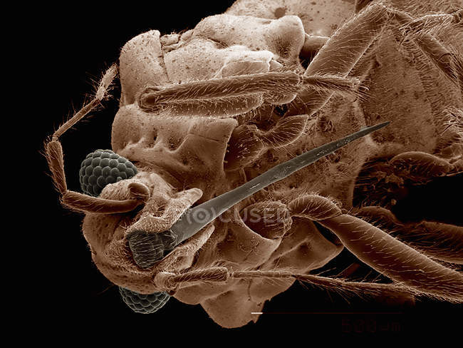 Scanning electron micrograph of mouthparts of hebridae bug — Stock Photo