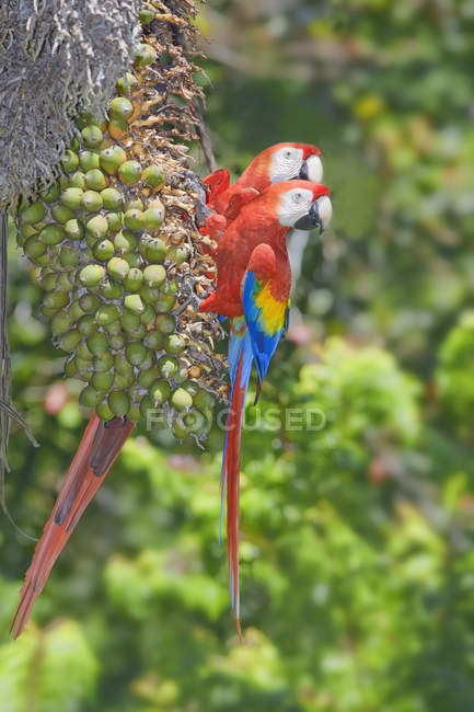 Two perched scarlet macaws, Corcovado National Park, Costa Rica — Stock Photo