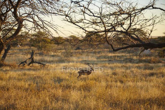 Газель, ходить в обычный пейзаж, Намибии, Африка — стоковое фото