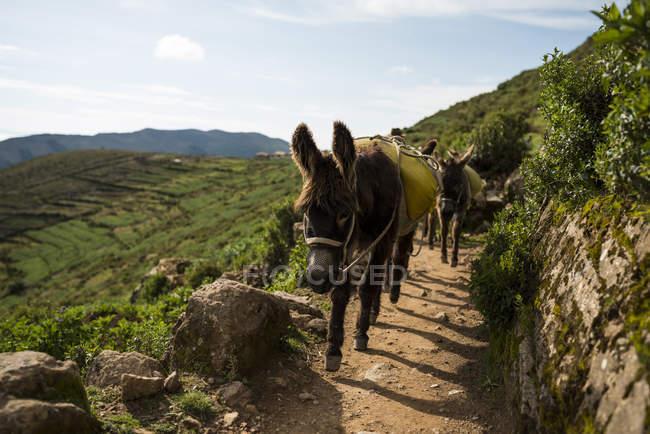 Burros no caminho da sujeira, Isla del Sol, Lago Titicaca, Bolívia, América do Sul — Fotografia de Stock