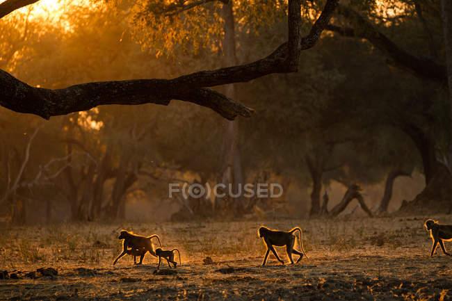 Groupe de babouins adultes et juvéniles ou Papio cynocephalus ursinas, rétro-éclairé au coucher du soleil, Parc national de Mana Pools, Zimbabwe — Photo de stock