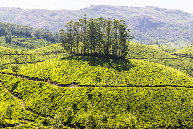 Elevated view sun lighted of tea plantation, Kerala, India — Stock Photo