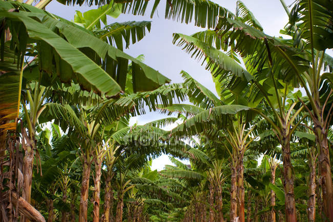 Beautiful green palm trees growing against blue sky in puerto rico — Stock Photo