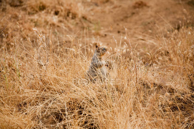 Cute little squirrel hiding in dry grass — Stock Photo
