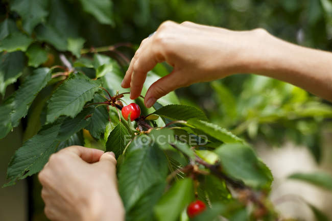 Cropped image of woman picking cherries from cherry tree — Stock Photo