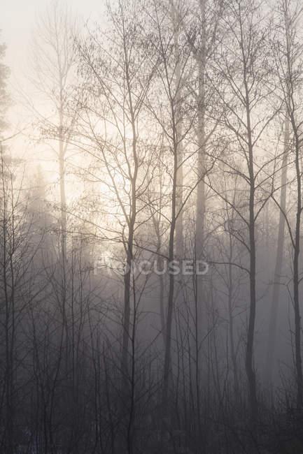 Vista panorámica de árboles desnudos en el bosque de niebla - foto de stock