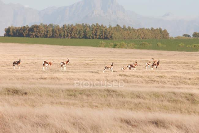 Шпрингбоки работает на сафари дикой природы, Стелленбос, Южная Африка — стоковое фото
