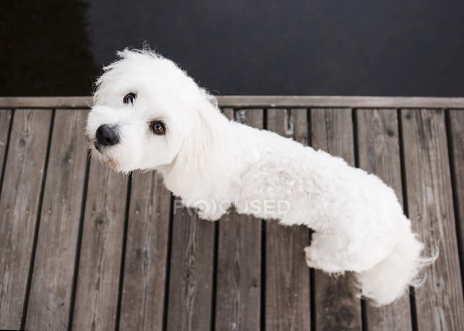 coton de tulear dog looking up from lake pier one animal full
