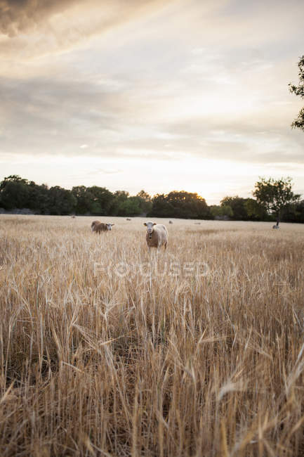Schafe weiden im Weizenfeld bei Sonnenuntergang — Stockfoto