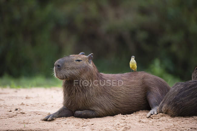 Great kiskadee bird sitting on cute capybara — Stock Photo