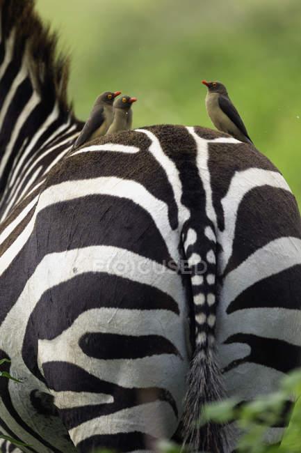 Рахунок виставляється червоний oxpeckers на burchells Зебра назад, озеро Накуру Національний парк, Кенія, Африка — стокове фото