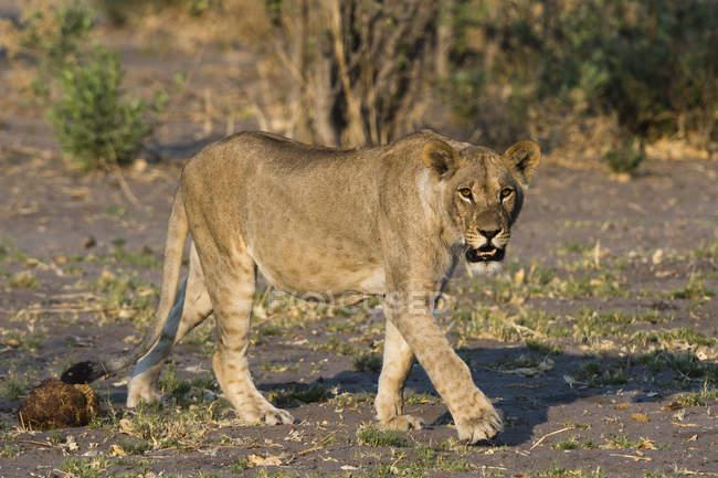 Вид спереди львица, ходьба с деревьев на фоне, Ботсвана — стоковое фото