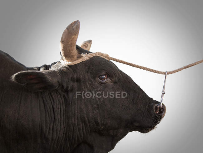 Bull tied to rope with nose piercing — Stock Photo