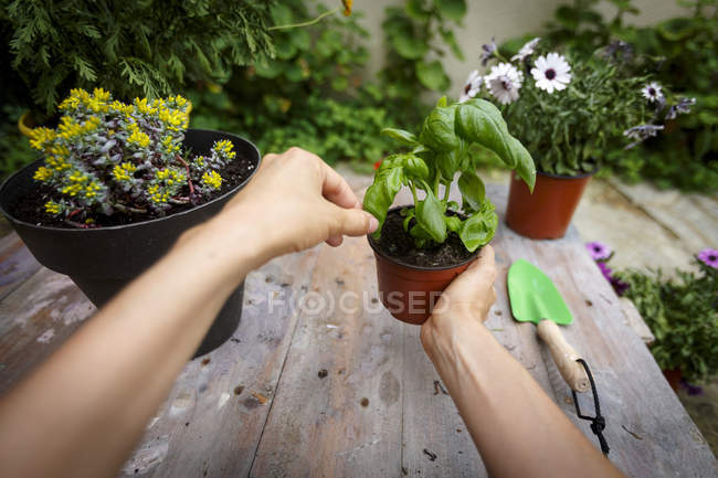 Point of view shot of hands holding basil plant — Stock Photo