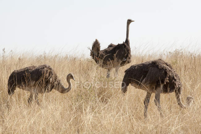 Three ostriches on grass field, South Africa — Stock Photo