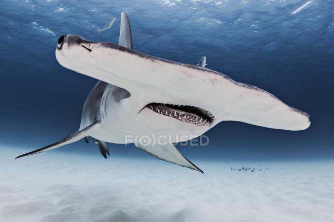 Grand requin-marteau, vue sous l'eau — Photo de stock