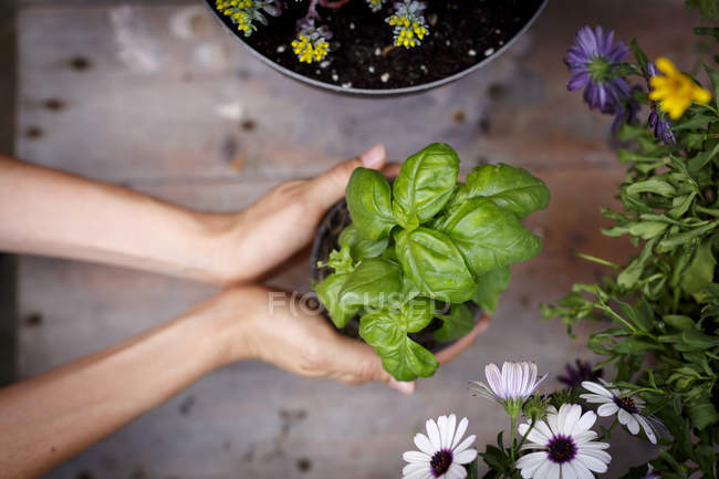 High angle view of hands holding basil plant — Stock Photo