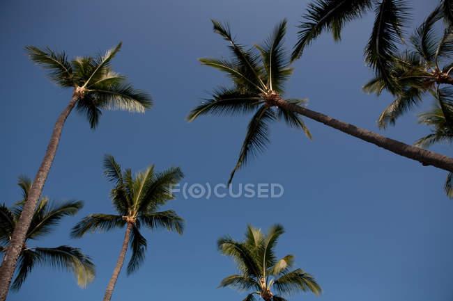 Пальмы на фоне голубого неба — стоковое фото