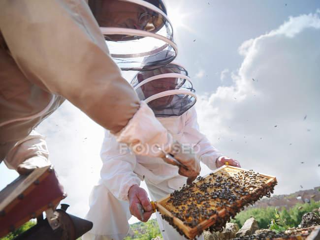 Imker-Suche nach Bienenkönigin — Stockfoto