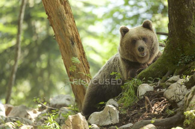 Портрет бурого медведя в лесу, Марковец, Словакия — стоковое фото
