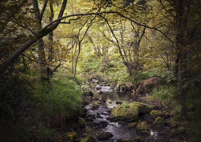 Cerfs dans les bois buvant dans un ruisseau, West Midlands, Royaume-Uni — Photo de stock