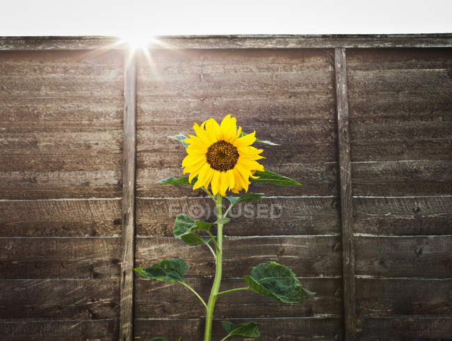 Sunflower growing by wooden wall — Stock Photo