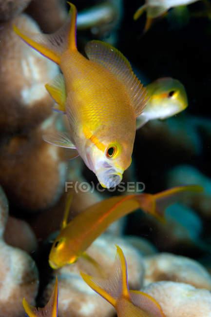 Underwater view of Female sea goldie, papua new guinea — Stock Photo