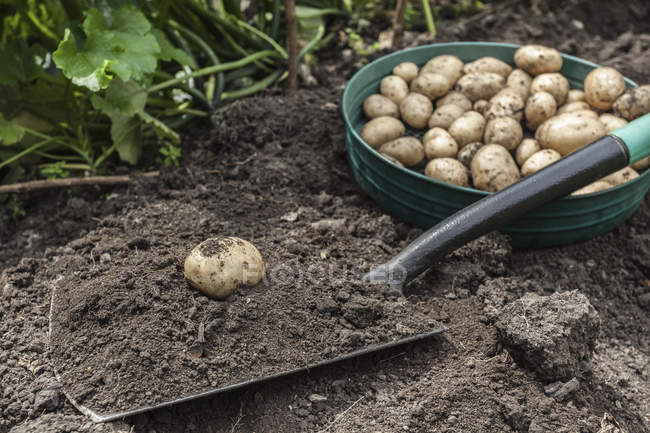 Potatoes harvested from garden in bowl on ground — Stock Photo