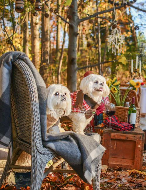 Deux chiens fourrure mignons assis sur la chaise en forêt — Photo de stock