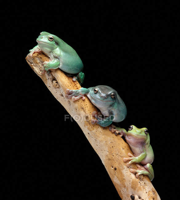 Three tree frogs on branch, close up shot — Stock Photo