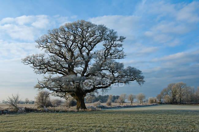 Вид на растущее дерево в сельской местности — стоковое фото