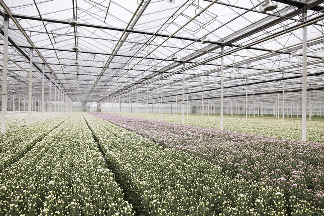 Rows of plants growing in greenhouse, diminishing perspective — Stock Photo