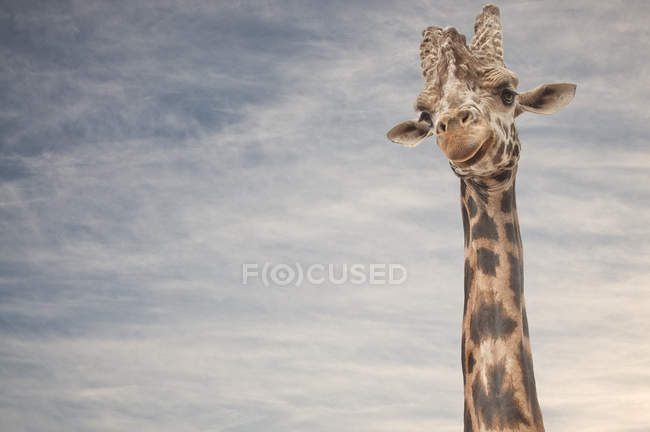 Close up portrait of giraffe with clouds in sky on background — Stock Photo