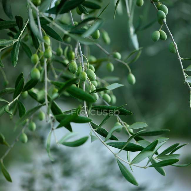 Close up of green olives growing on tree — Stock Photo