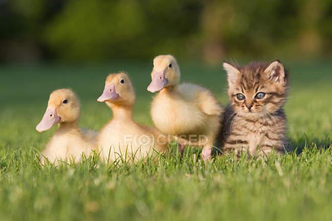 Tres patitos y gatito en la hierba en la luz del sol — Stock Photo