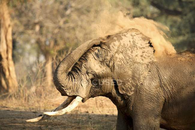 Elephant or Loxodonta africana in Mana Pools National Park, Zimbabwe — Stock Photo